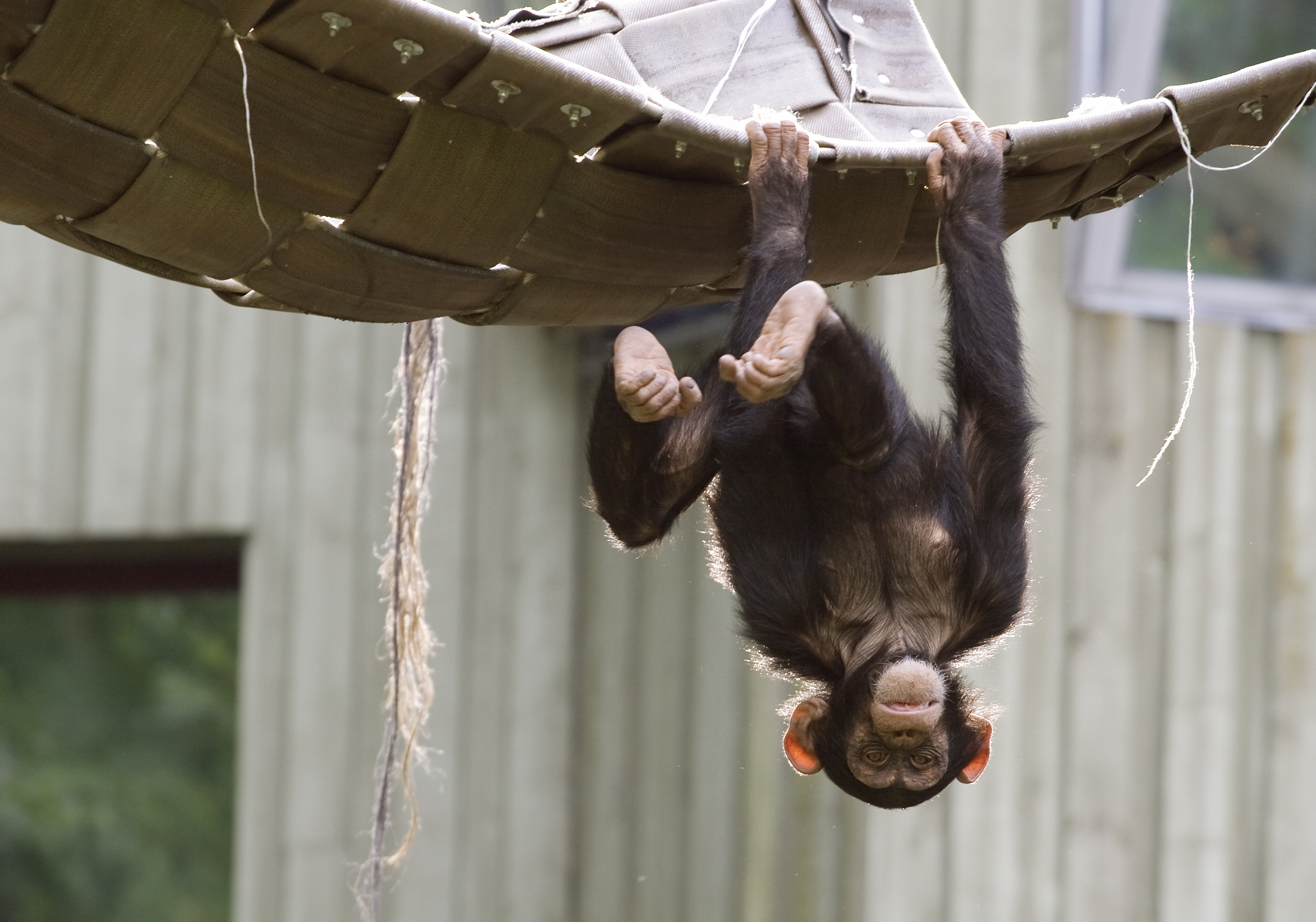 Alzheimers_Signs_Seen_in_Chimpanzees_for_the_First_Time.jpg